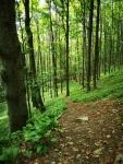 Las i czosnek niedźwiedzi
