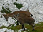 Dwie kozice na górskim szlaku w Alpach Julijskich