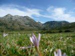Rozległa łąka, w tle góry. Na pierwszym planie kwiatek. Szlak GR 20 na Korscyce.